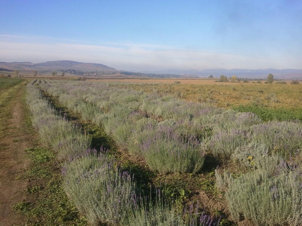 plantatie-lavanda-ocna-mures-ioan-iacob