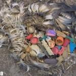 midway seagul baby pescarus pui mort cadavru plastic dopuri
