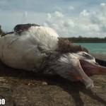 midway seagul baby pescarus pui pe moarte