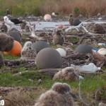 midway seagul baby pescarus pui poluare plastic
